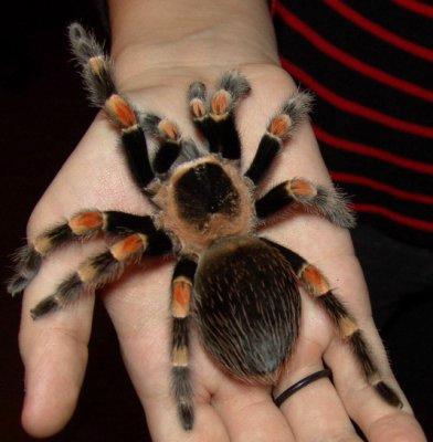 Люди их не боятся, потому что этот вид пауков для людей совсем не опасный.